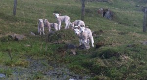 Haddon Home Farm lambs by the dew pond